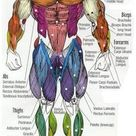 MAJOR MUSCLES of the BODY