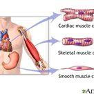 Types of muscle tissue: MedlinePlus Medical Encyclopedia Image
