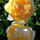 Charlotte Rose