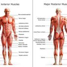 Chart of Major Muscles on the Front of the Body with Labels