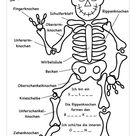 SO VIELE KNOCHEN HAB ICH! Skelett, Biologie, Sachkunde – Unterrichtsmaterial in den Fächern Biologie & DaZ/DaF & Sachunterricht