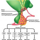 Hormones Of The Anterior Pituitary And Its Disorders: A Case Study Of The Glycoprotein Hormones