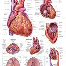 Anatomy of The Heart 3e Chart 20x26