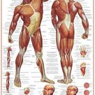'Muscular System' Prints    AllPosters.com