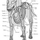 Dog Anatomy the Bones by COOKEcakes on DeviantArt
