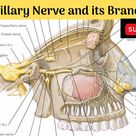 Maxillary Nerve | Course | Relations | Branches & Their Distributions