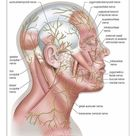 A1 Poster. Diagram of the cutaneous nerves of the head and neck