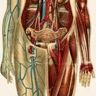 A1 Poster. Unfolding female anatomy