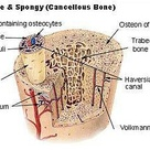 Compact Bone & Spongy Bone    A haversian canal is a central canal within…