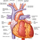Human Heart - Anterior View