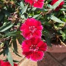 Foap.com: Potted Plant - Red Dianthus Flowers stock photo by jennyrajan