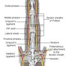 This ligament passes across the palm at the base of the fingers. Description from dupuytrens.me.uk.