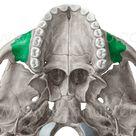 Processus zygomaticus maxillae Jochfortsatz des Oberkieferknochens