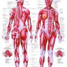 The Human Muscular System Laminated Anatomy Chart (Sistema Muscular Humano) in Spanish