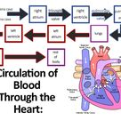Learn About the Circulatory System for Kids