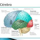 O funcionamento do cerebro no processo ensino aprendizagem