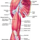 Skeletal Muscle Group IV