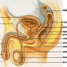 Candida Balanitis Experts Guide: Risks, Symptoms, Creams & Treatment