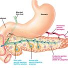 What organ functions as both an endocrine and exocrine organ? | Socratic