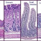 Cell Types: Differences Along the Digestive System
