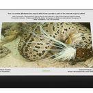 1000 Piece Puzzle. Sea cucumber (Bohadschia argus) which has