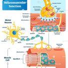 Neuromuscular junction biological vector illustration infographic diagram