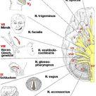 Die 12 Hirnnerven und ihre Funktion