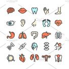 Human Organs Thin Line Icon Set. by Stacy on @creativemarket