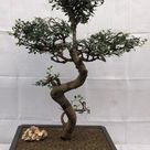 Chinese Elm Bonsai - Cured Trunk & Tiered Branches - 36 yrs old  19 x 22 x 32 tall  Potted in a 17 brown rectangle Mica pot.