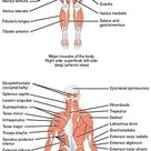 Human musculoskeletal system - Wikipedia