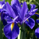 Purple Iris