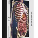 1000 Piece Puzzle. Human midsection with internal organs