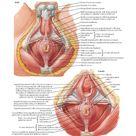 External Anal Sphincter Muscle: Perineal Views Anatomy