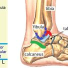 Ankle Joint  Anatomy, Movement & Muscle involvement » How To Relief