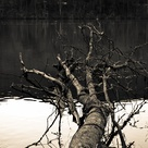 This tree had fallen in the Tennessee River as my son and I were exploring an old German mining settlement built in the 1800's.  We walked down to the edge of the river, and that's when I spotted this tree.  Just thought it would make an interesting photo.