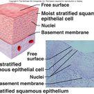 Stratified Squamous Epithelium More