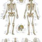das menschliche Skelett Lehrtafel Anatomie 50 x 67 cm Poster kleiner Riss unten • EUR 6,25