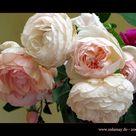English Tea Roses