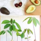 How to Grow Avocado from Seed (2 Easy Ways!)