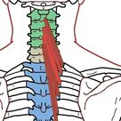 Quadratus Lumborum   Functional Anatomy   Integrative Works