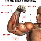 Bicep front Anatomy