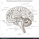 Structure Human Brain Section Schematic Vector Stock Vector (Royalty Free) 349272971