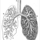 Print of Section of the Lungs Anatomy Drawings 1888