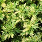 Plant Profile for Artemisia vulgaris Oriental Limelight - Variegated Mugwort Perennial