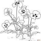 Viola Tricolor or Pansy coloring page   Free Printable Coloring Pages