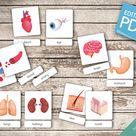Human Organs * 18 Editable Montessori Cards * Flash Cards Nomenclature Cards Editable Pdf Printable Cards preschool Toys