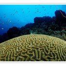 A1 Poster. Big Brain Corals (Madreporaria), Tobago, Caribbean Sea