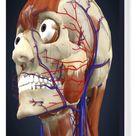 Box Canvas Print. Human head with bone, muscles and circulatory