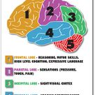 Parts of the Brain - NEW Science Biology Classroom Anatomy Cerebellum POSTER