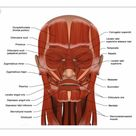 25cm Photo. Facial muscles of the human head with labels